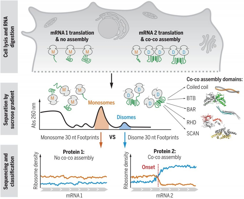 Interactions between nascent proteins translated by adjacent ribosomes drive homomer assembly